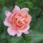sized rose