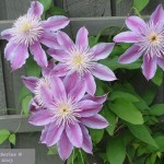 Clematis series 1