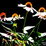 Cone flowers signed 2013