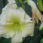 Day Lily 2010