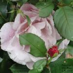 Roses in the Rain Shy Rose #2