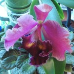 orchid # 6