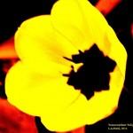 Transendent Tulip #8 signed