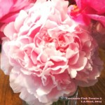passionate pink peonies 2