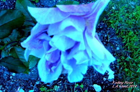 Fading Rose signed