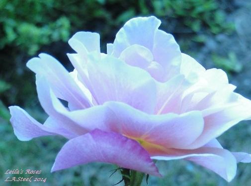 Leila's Roses 2