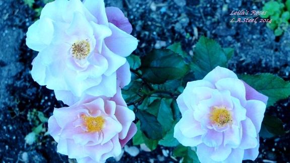 Leila's Roses 4