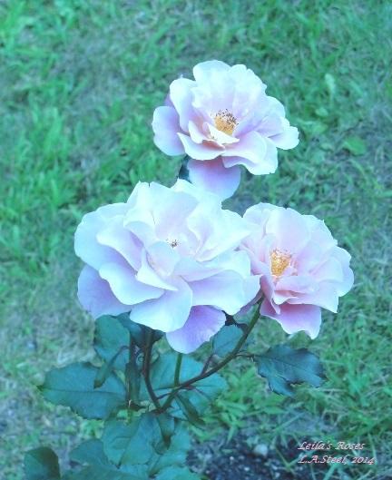 Leila's Roses 5