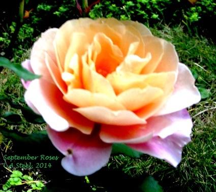 september roses 1