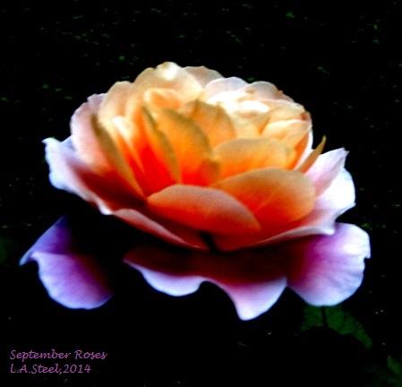 september roses 2