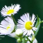 donald trump daisies 2017