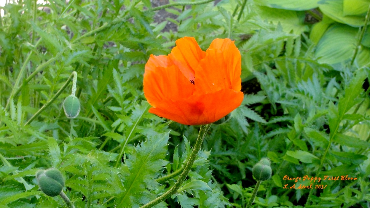 orange poppy first bloom 2 2017