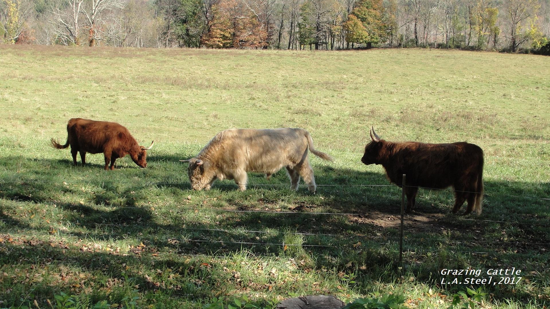 grazing cattle series 1 2017