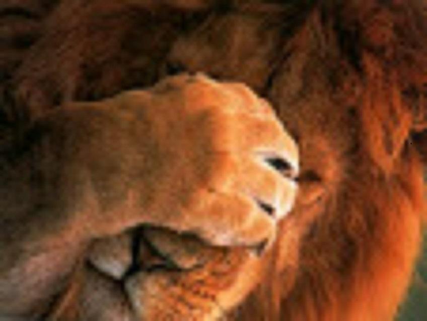 shy lion mueller 2019