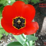 Radiant Individual Tulips Together Series 2013