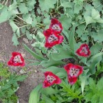 Red with white centers