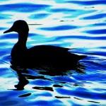 Dark Duck