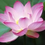 Lotusphoto