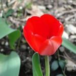 Leila's Tulips 4