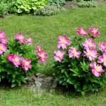 pink peonies 4
