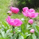 pink peonies 7