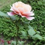 September rose 4