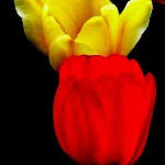 two tulips signed