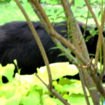 MY BACKYARD BLACK BEAR