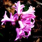 pink hyacinth 6 2017